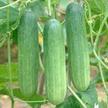 Cucumber: Thai Special image