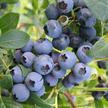 Blueberry: O'Neal image