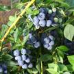 Blueberry: Legacy image