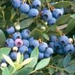 Blueberry: Sunshine Blue image