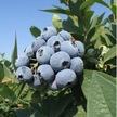 Blueberry: Jewel image