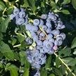 Blueberry: Reka image