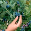 Blueberry: Emerald image