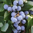 Blueberry: Sharpblue image