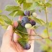 Blueberry: Patriot image