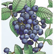 Blueberry: Jubilee image