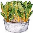 Chard: Pot of Gold image