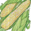 Corn: Brocade image
