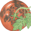 Tomato: Black Prince image