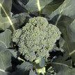 Broccoli: De Cicco image