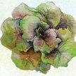 Lettuce: Grandpa Admire's image