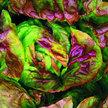 Lettuce: Yugoslavian Red Butterhead image