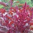 Amaranth: Kerala Red image
