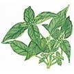 Basil: Italian Pesto image