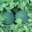 Watermelon: Blacktail Mountain image