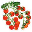 Tomato: Sungold image