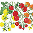 Tomato: Tricolor Garden Candy image