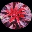 Amaranth: Molten Fire image