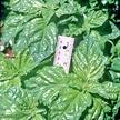 Basil: Salad Leaf image
