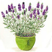Lavender: French Perfume image