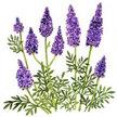 Lavender: Fernleaf image