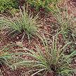 Lemongrass: Lemongrass image