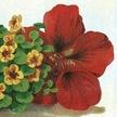 Nasturtium: Dwarf Cherry Rose image