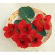 Nasturtium: Empress of India image
