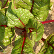 Chard: Ruby Red image