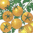 Tomato: Gold Nugget image
