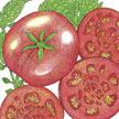 Tomato: Siletz image