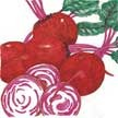 Beet & Beetroot: Chioggia image