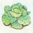 Cabbage: Glory of Enkhuizen image
