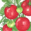 Tomato: Stupice image