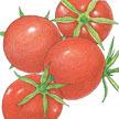 Tomato: Burbank image