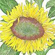 Sunflower: Dwarf Sunspot image