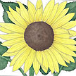 Sunflower: Lemon Queen image