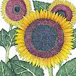 Sunflower: Taiyo image