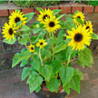 Sunflower: Junior image