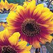 Sunflower: Gloriosa Polyheaded image