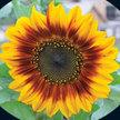 Sunflower: Tiger Eye Mix image