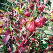 Roselle: Thai Red image
