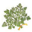 Chervil: Fancy French image