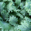 Kale: Red Russian image