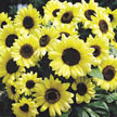 Sunflower: Valentine image