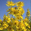Sunflower: Prairie Maximillian Perennial image