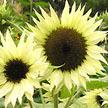 Sunflower: Moonshadow image