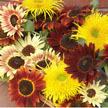 Sunflower: Sun Samba image