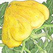 Squash, Summer: Golden Scallopini image