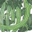 Cucumber: Armenian image